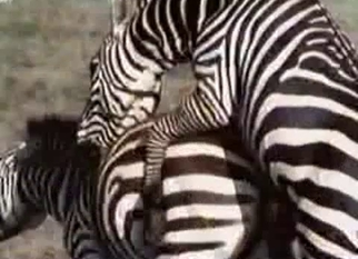 Two zebras fucking each other hard